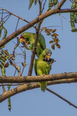 Unsere Nachbarn, die Papageien