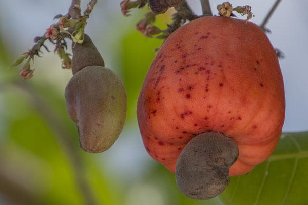 Cashewfrucht mit Nuss
