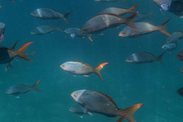 Fische zu Hunderten