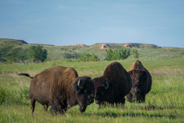 Noch mehr Bisons, die laufen auch schon mal durch den offenen Campingplatz