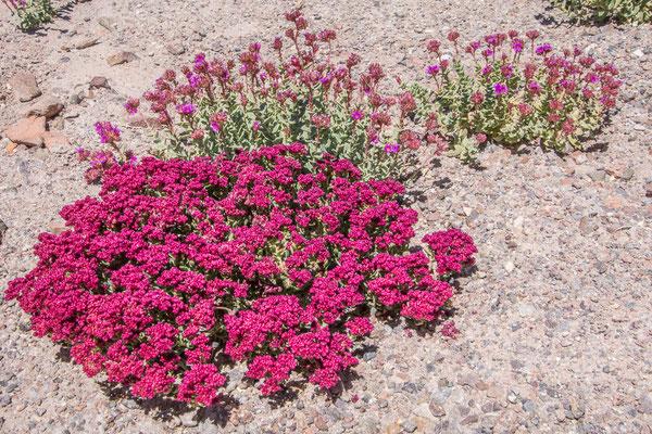 Die Wüste blüht bei San Pedro