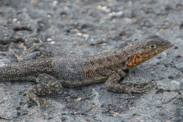 Lavaechse, Weibchen