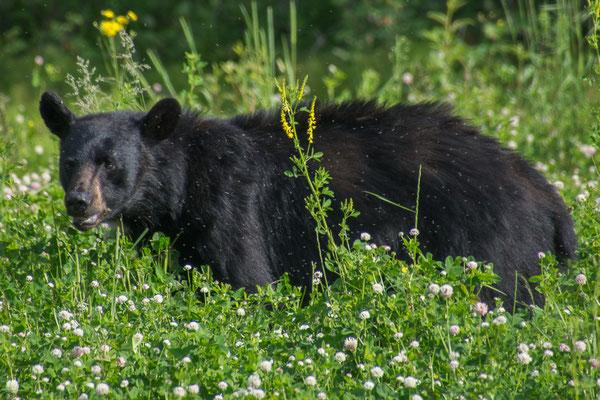 Einer der vielen Bären die wir gesehen haben