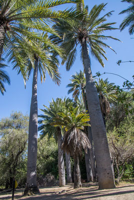 """Die riesigen """"Palmas de Chile"""" sind eine der Hauptattraktionen des Nationalparks"""