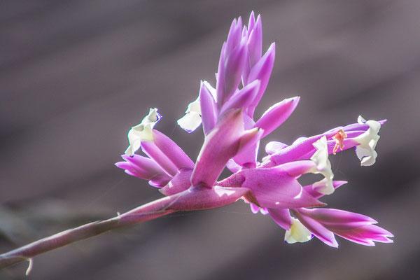 Bromelienblüte