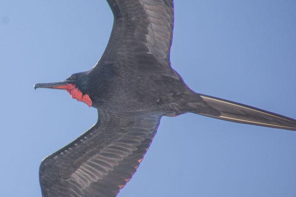 Fregattvogel, häufige Begleiter auf hoher See
