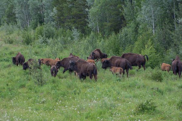 Eine grosse Herde grast direkt an der Stresse