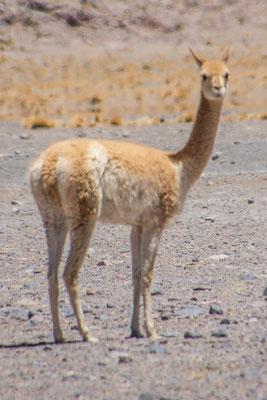"""Ein Vicuna, eine der wilden Arten von """"Lamas"""""""