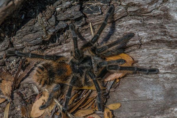 Diese fette Spinne hat sich am Wegesrand gesonnt