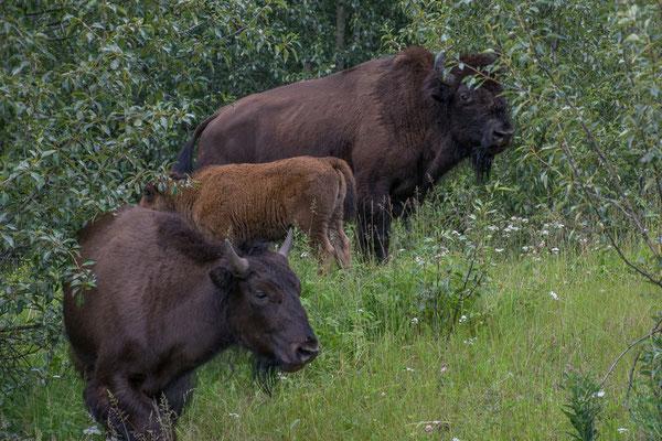 Wood Buffalos, die etwas kleinere Art der Bisons