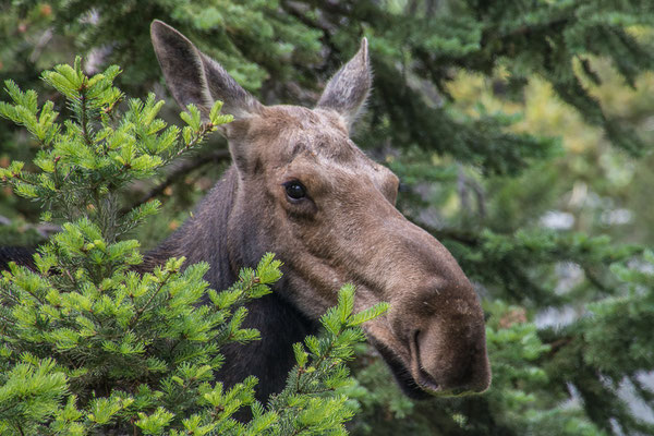 Mama Moose