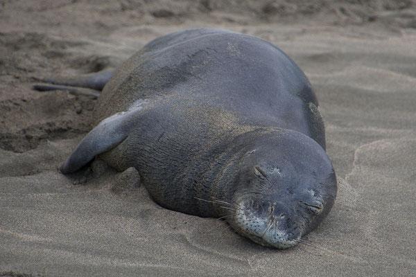 Mönchsrobben kommen an dern Strand zum Schlafen