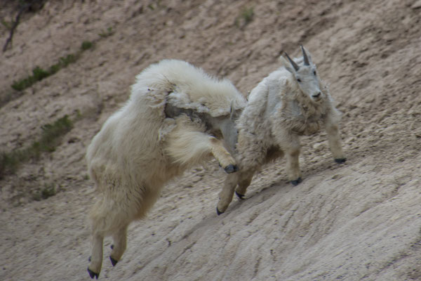 Mountain Goats: Attacke