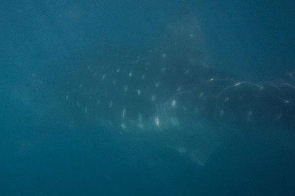 Walhai aus allernächster Nähe