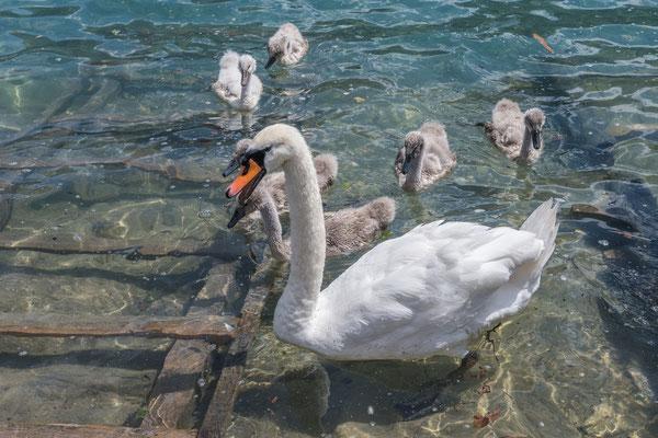 Schwanenmutter mit NAchwuchs