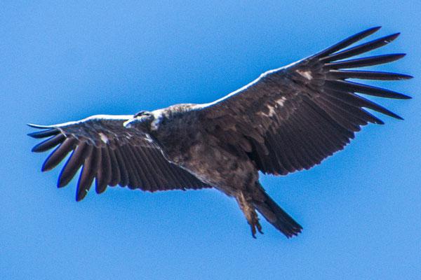 Kondor im Anflug