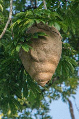 Wildbienennest, etwa 50 cm gross, weit oben im Baum