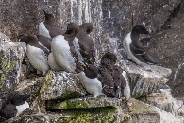 Vogelkolonien am Látrabjarg