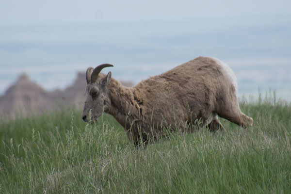 Bighorn Sheep, hätten wir hier noch nicht erwartet