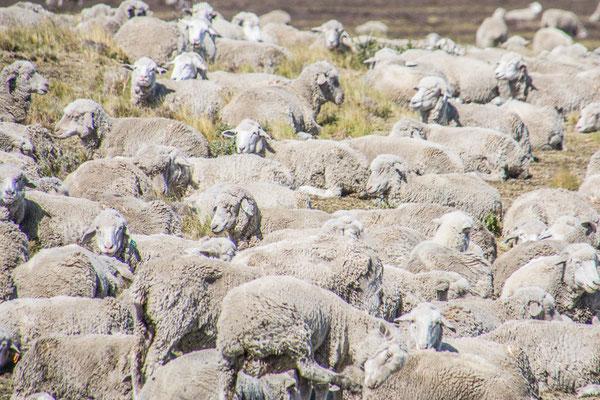 Immer noch eine wichtige Industrie, Schafzucht