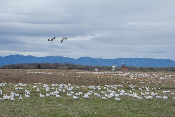 Snow Gees machen Zwischenhalt auf dem Weg in den hohen Norden