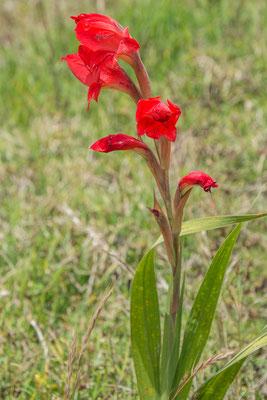Wilde Gladiolen