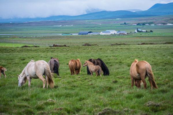 Island Ponies