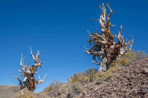 Bristlecone National Forest