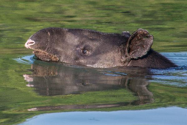 Tapir beim Queren des Flusses