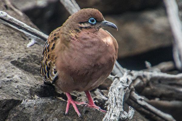 Galapagos Taube