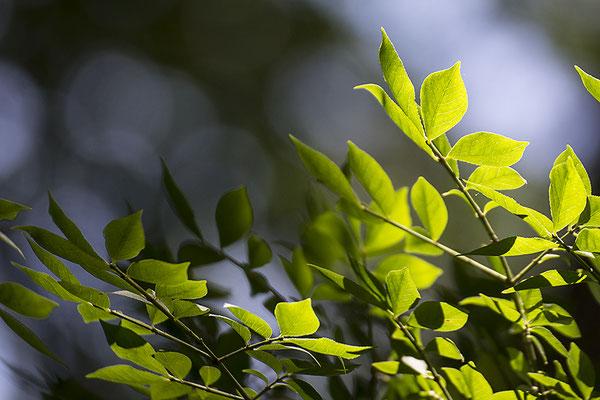 Tanz der Blätter - © Helga Jaramillo Arenas - Fotografie und Poesie / Juli 2020