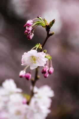 Das Wunder jeden Jahres - © Helga Jaramillo Arenas - Fotografie und Poesie / März 2020