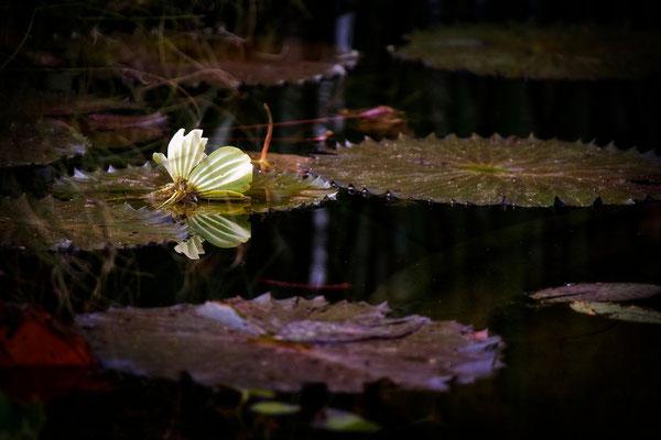 Zauber des Seerosenteichs - © Helga Jaramillo Arenas - Fotografie und Poesie / September 2014