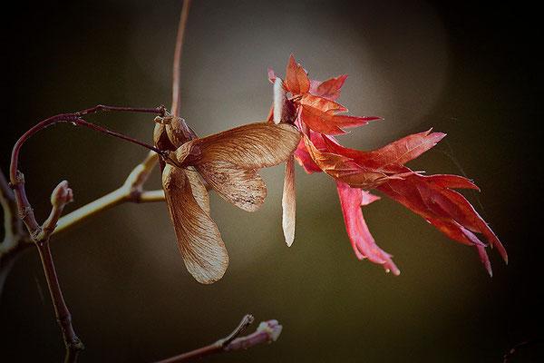 Botschafter des Herbstes - © Helga Jaramillo Arenas - Fotografie und Poesie / Oktober 2013