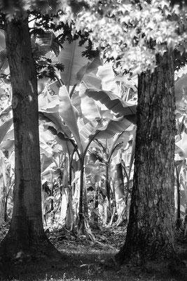 Alles Banane - © Helga Jaramillo Arenas - Fotografie und Poesie / Juli 2018