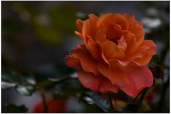 Rosenschön - © Helga Jaramillo Arenas - Fotografie und Poesie / August 2012