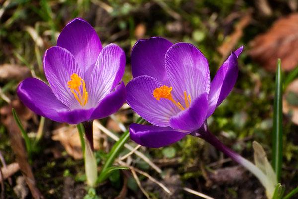 Frühlingsgrüße - © Helga Jaramillo Arenas - Fotografie und Poesie / März 2015