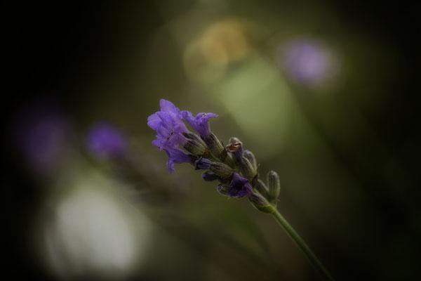 Der Duft des Lavendels - © Helga Jaramillo Arenas - Fotografie und Poesie / August 2016