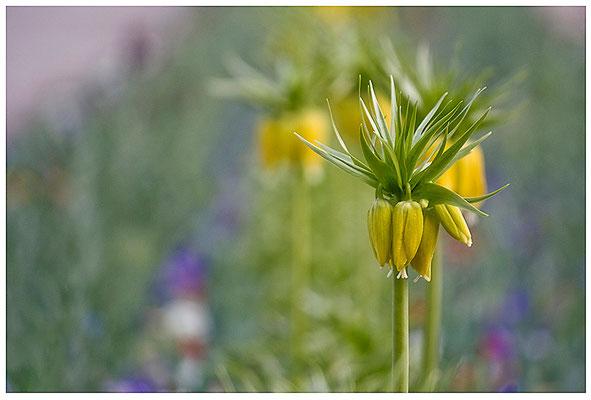 Königlich - © Helga Jaramillo Arenas - Fotografie und Poesie / April 2012