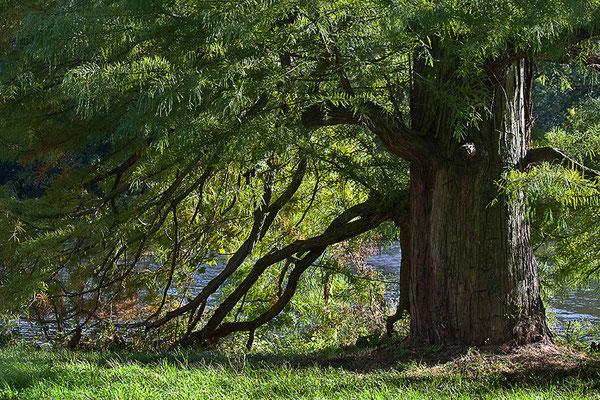 Weisheit der Bäume - © Helga Jaramillo Arenas - Fotografie und Poesie / November 2012