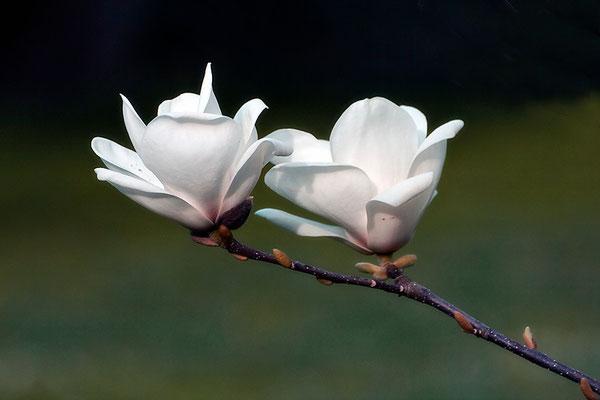 Zarter Hauch des Frühlings - © Helga Jaramillo Arenas - Fotografie und Poesie / Mai 2015