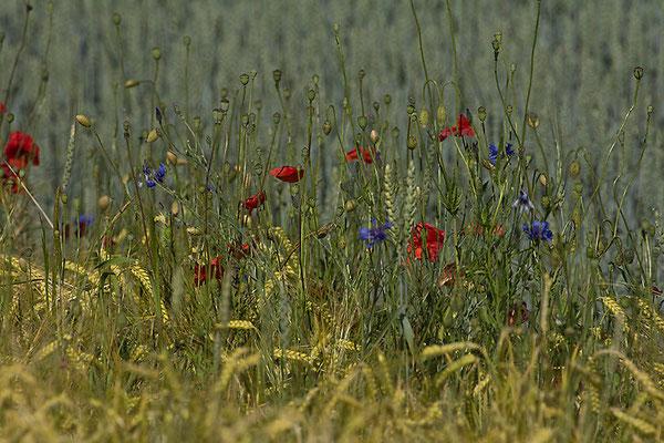 Das Blumenglück im Korn - © Helga Jaramillo Arenas - Fotografie und Poesie / Juni 2015