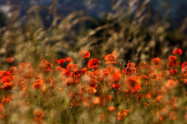 Mohnleuchten - © Helga Jaramillo Arenas - Fotografie und Poesie / Juni 2015