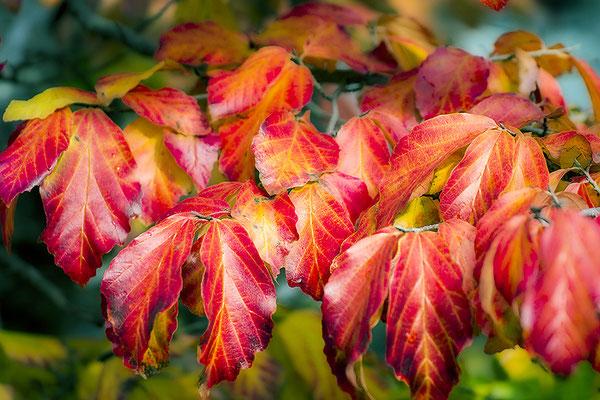 Herbstleuchten - © Helga Jaramillo Arenas - Fotografie und Poesie / November 2017