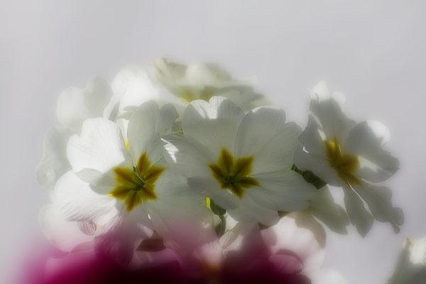 Das Strahlen des Frühlings - © Helga Jaramillo Arenas - Fotografie und Poesie / April 2017