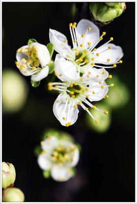 Feuerwerk des Frühlings - © Helga Jaramillo Arenas - Fotografie und Poesie / April 2017