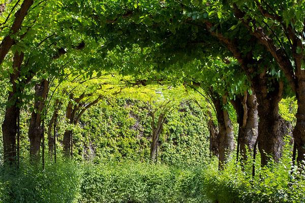 Sommergrün / Würzburger Schloßgarten - © Helga Jaramillo Arenas - Fotografie und Poesie / August 2015
