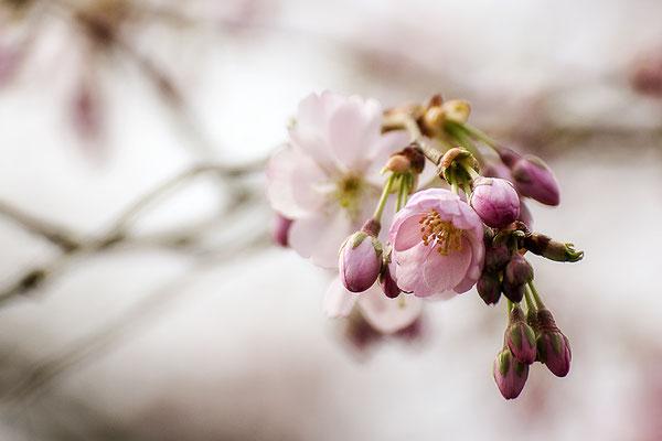 Zarter Frühling -  © Helga Jaramillo Arenas - Fotografie und Poesie / April 2021