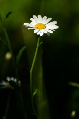 Das Glück lugt aus der Wiese - © Helga Jaramillo Arenas - Fotografie und Poesie / Juni 2015