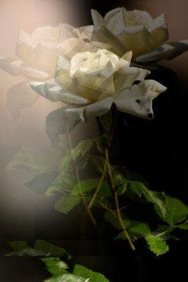 Das Miteinander der Rosen - © Helga Jaramillo Arenas - Fotografie und Poesie / August 2015
